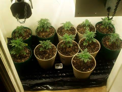 transfer marijuana seedlings
