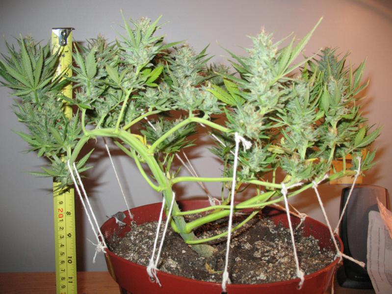 Training And Trimming During Cannabis Vegetative Growth
