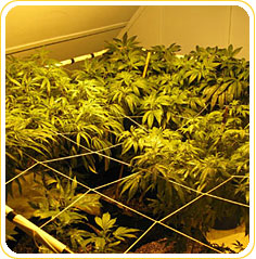 How to Grow Marijuana Indoors using Scrog Method