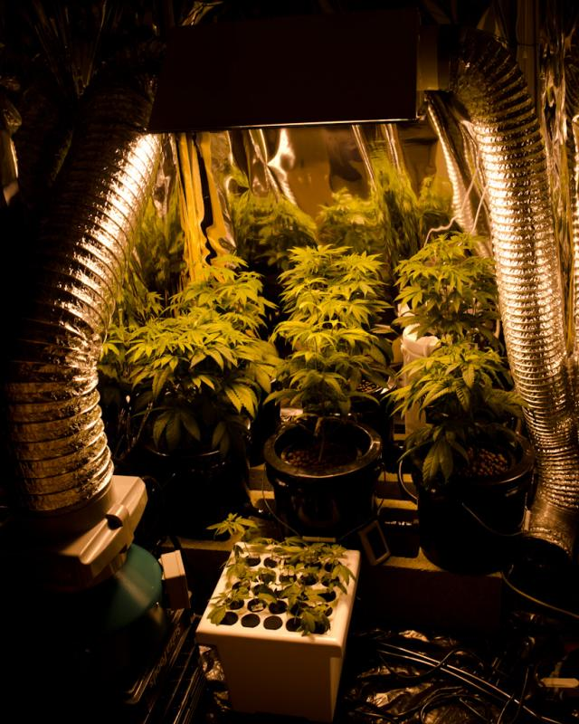 Tree Inside The House Interior Climate Controlled: How To Grow Weed: Knowing The Required Temperature, Water
