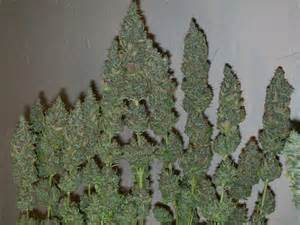 Weed Harvesting And Drying Learn Growing Marijuana