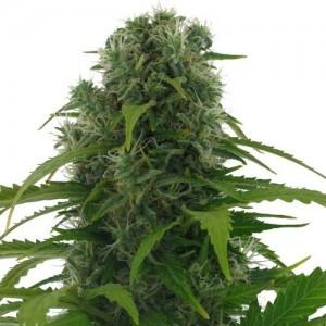 Afghan marijuana plant