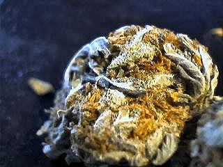 growing autoflowering marijuana