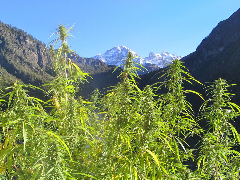 cannabis-yield
