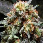 medijuana-marijuana