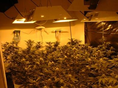 marijuana-lamps