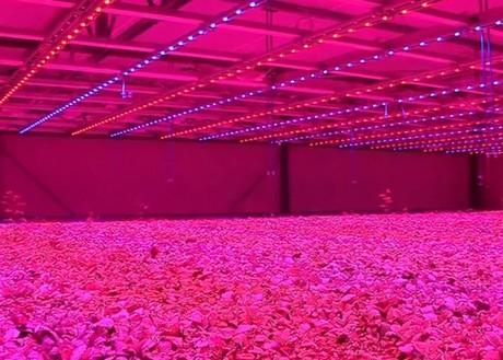 marijuana led grow light system. Black Bedroom Furniture Sets. Home Design Ideas