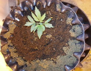 marijuana_growing_coco_coir