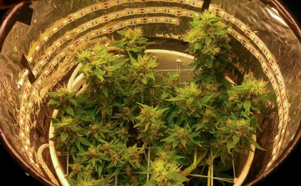Growing Marijuana In Diy Space Buckets