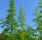 Cannabis_sativa_001