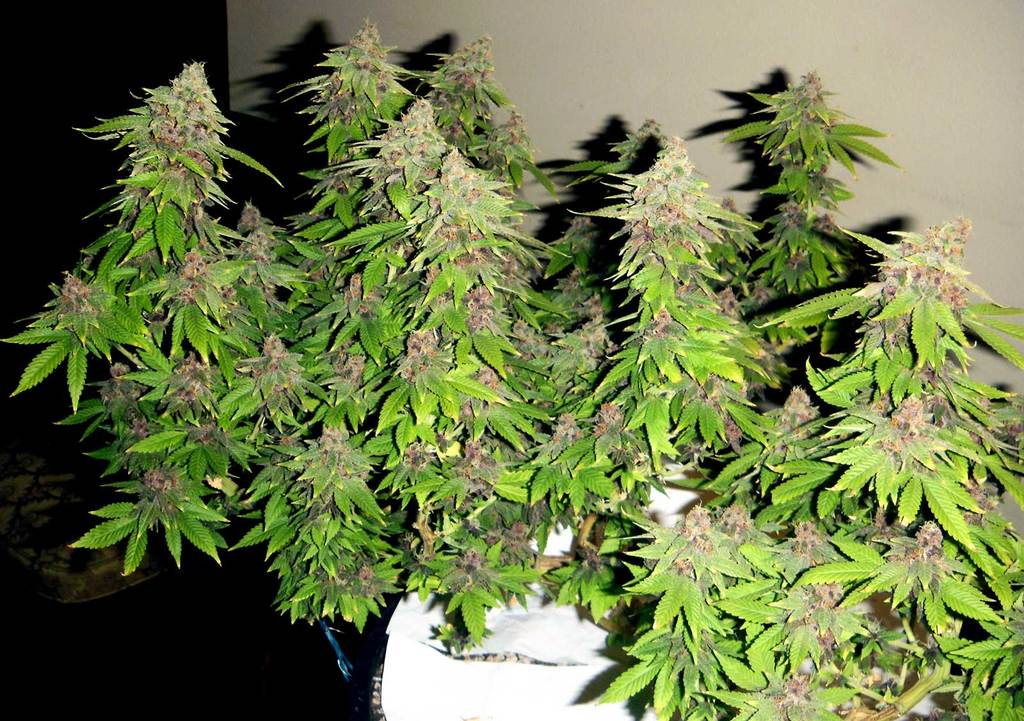 Why Grow Autoflowering Marijuana Plants