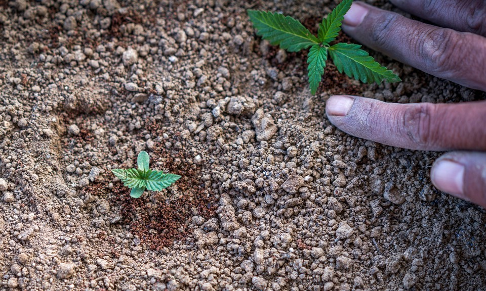 Cannabis Nutrient Schedule In Soil Growing Learn Growing