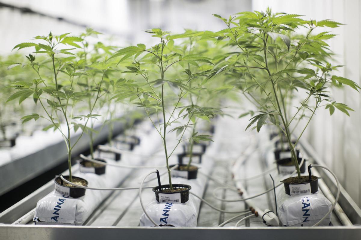 Guide On Hydroponics Marijuana Growing Learn Growing