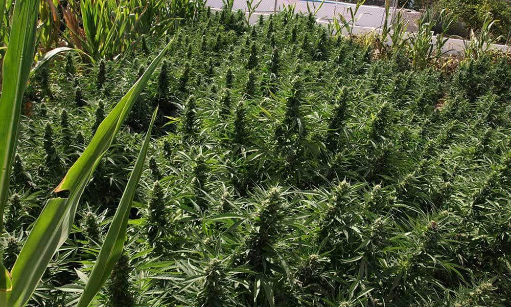 Best Nutrients for Outdoor Marijuana Grow