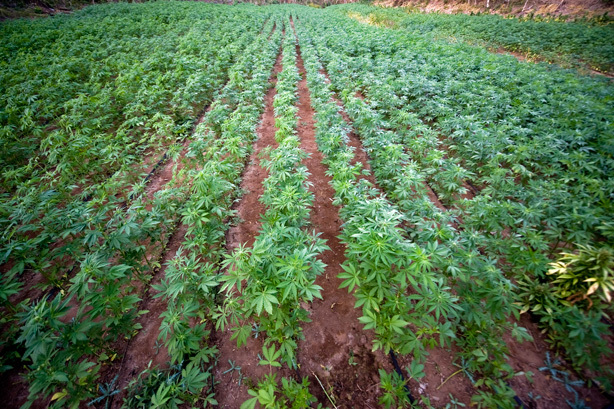 Best Cash Crops To Grow Learn Growing Marijuana