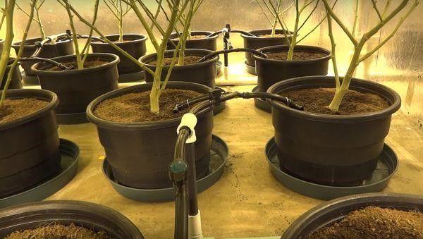 Marijuana Indoor Soil Drip System Learn Growing Marijuana