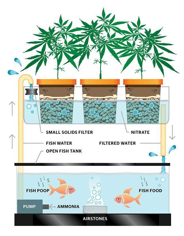 Aquaponics Continuous Flow Setup for Marijuana Growing