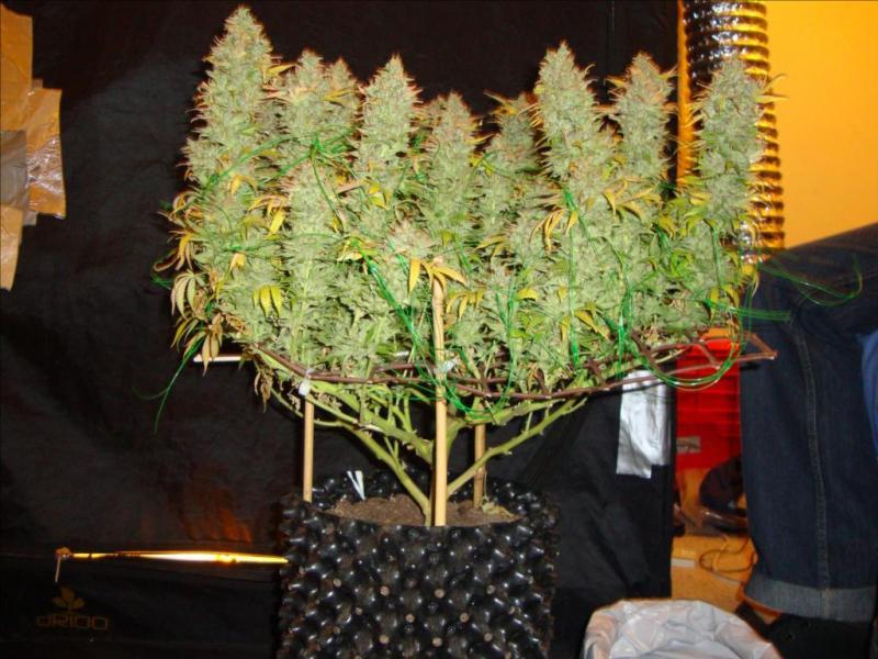 Growing Marijuana Indoors with Screen of Green Method