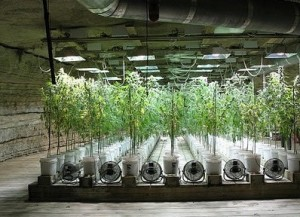 how to grow marijuana in hydroponics