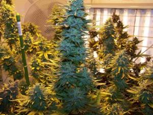 AK48 marijuana plant
