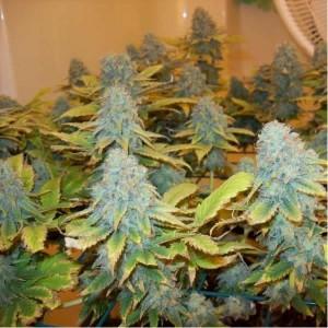 aurora-indica-marijuana