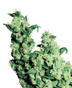 jack herer marijuana plant