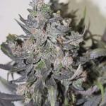 eldorado-marijuana