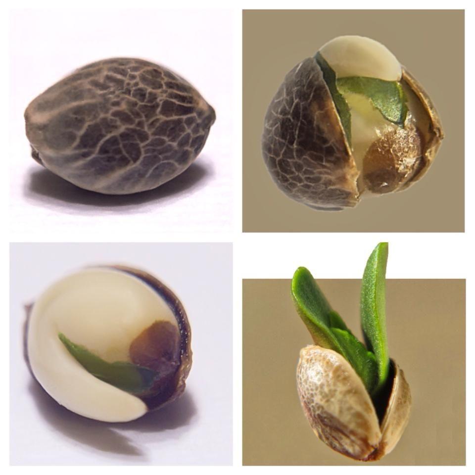 How to Make Autoflowering Feminized Seeds