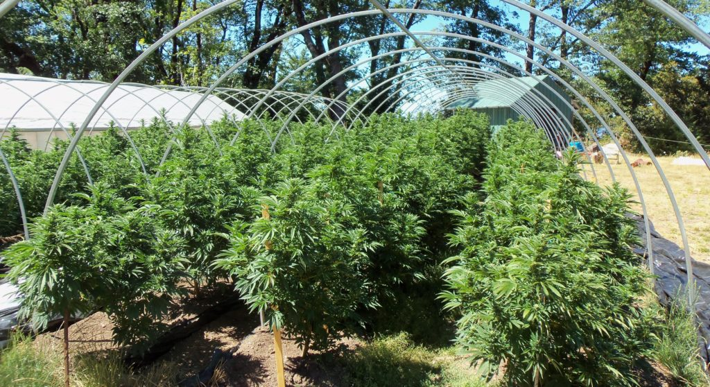 how-to-grow-weed-outdoors