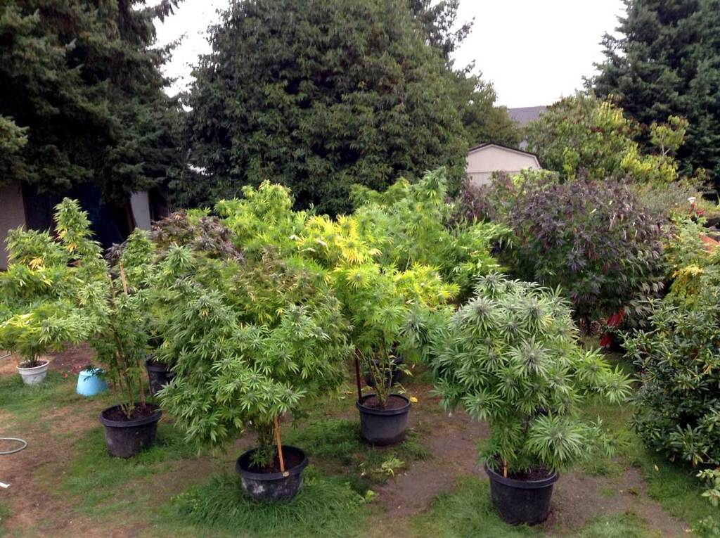 Best Autoflowering Strains for Outdoors Growing