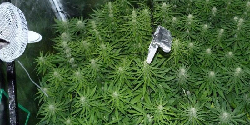 Tips on Marijuana Flowering Fertilizer Ratio