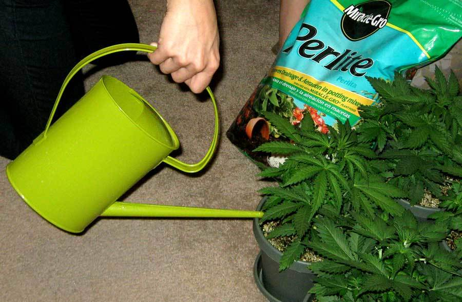Best Way to Water Weed Plants